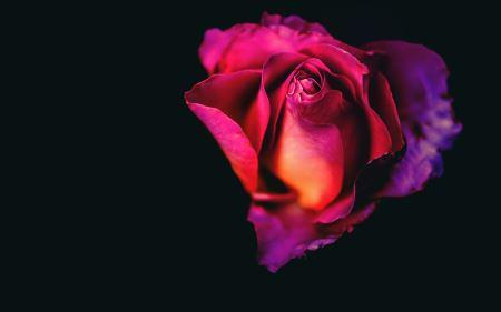 گل رز با زمینه سیاه rose flower dark background