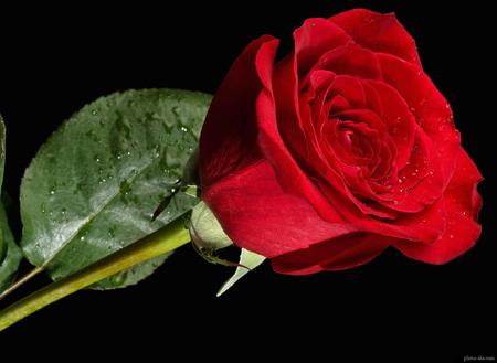 عکس تک شاخه گل رز قرمز beautiful rose flower red