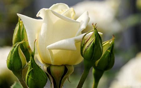 غنچه و گل رز سفید rose flower buds