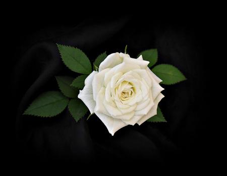 عکس گل رز سفید با زمینه سیاه rose flower white wallpaper