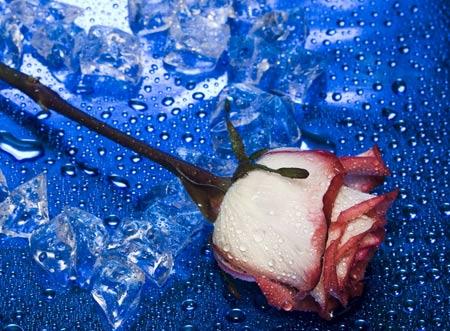 تصویر شاخه گل رز عاشقانه love rose flower