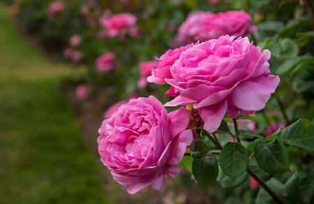 عکس باغچه گل محمدی rose flowers garden