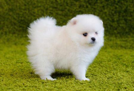 سگ پامرانین سفید Pomeranian White