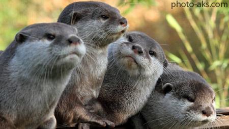 سمور های آبی otter wallpapers