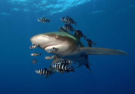 عکس کوسه همراه ماهی ها shark and fish