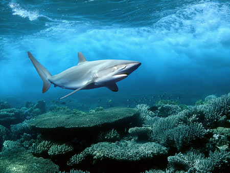 کوسه ماهی زیر آب shark searchin food