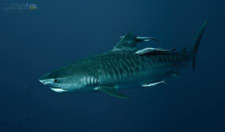 عکس کوسه در اعماق دریا shark wallpaper