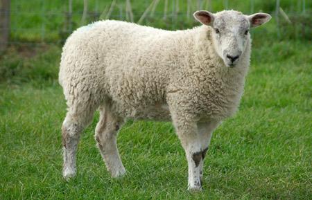 عکس گوسفند سفید sheep nature image