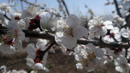 شکوفه سفید سال 92 shokofe sefid ziba