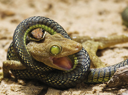 عکس شکار مارمولک توسط مار snake lunch