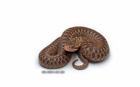 عکس مار snake withe background