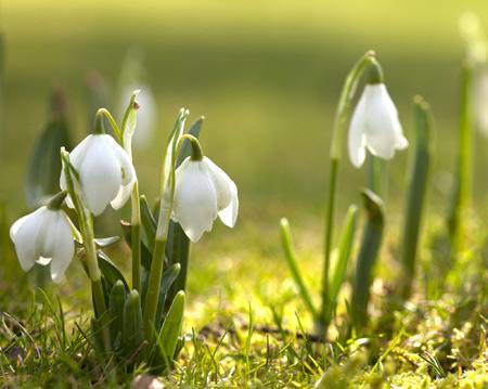 گل سوسن زنگوله ای سفید aks gole sosan sefid