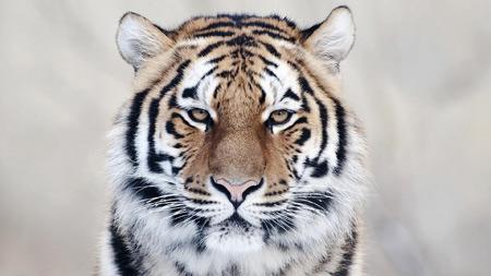 عکس صورت ببر بنگال bangal tiger face