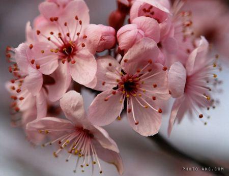 شکوفه بهاری spring bloom