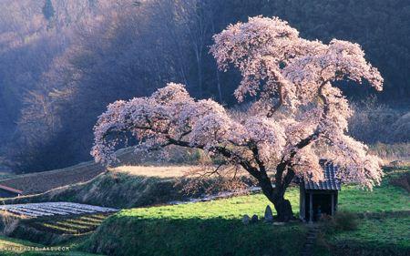 شکوفه های بهاری سفید spring japon
