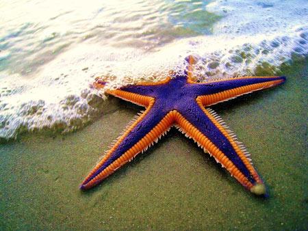 عکس ستاره دریایی بنفش زیبا starfish amazing on beach