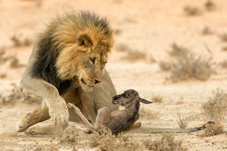 لحظه شکار شیر نر یال دار male lion hunt