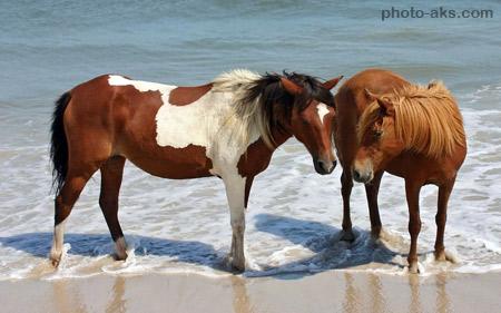 عکس اسب قهوه ای در ساحل brown horse in beach
