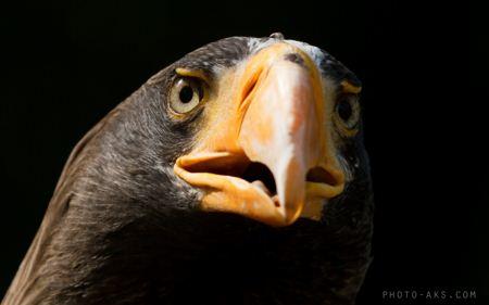 عقاب دریایی stellers sea eagle