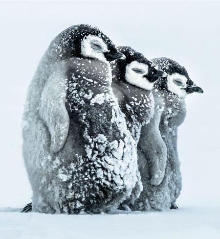 جوجه پنگوئن ها در طوفان قطبی storm penguin baby