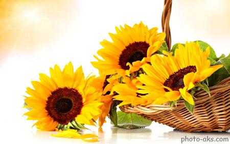 گل آفتابگردان در سبد sunflowers
