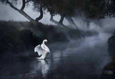 تصویر قوی سفید در دریاچه swan in lake