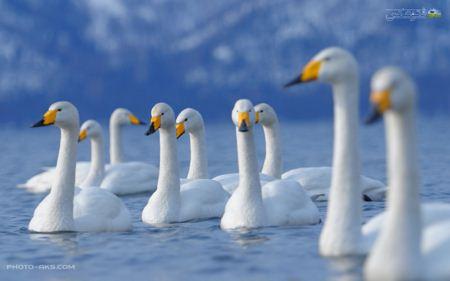 دریاچه قو های زیبا swans lake