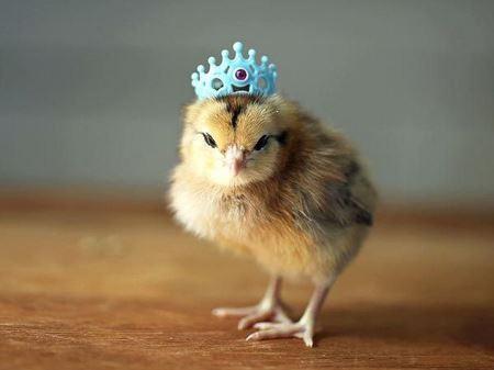 جوجه بامزه با تاج کوچولو sweet baby chicken