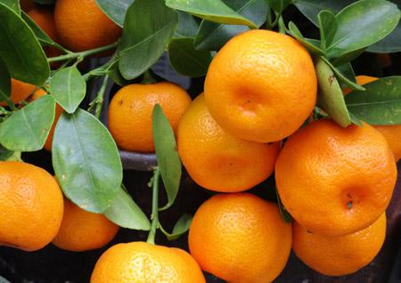 عکس میوه درخت نارنگی tangerines fruit branch