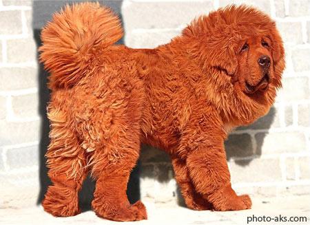 سگ تبتی خوشگل پشمالو tibetan mastiff dog