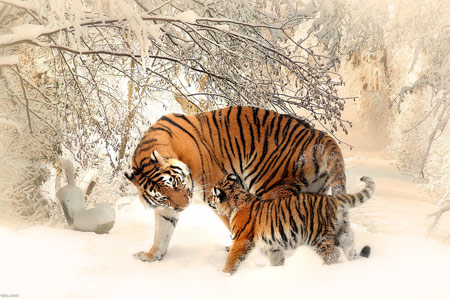 والپیپر زیبای ببرها زمستان برفی tiger baby mother