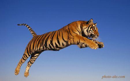 ببر در حال پرش tiger in jumping