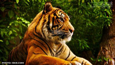 پس زمینه ببر بنگال bangal tiger