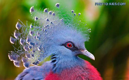 طاووس بسیار زیبا aks tavoos
