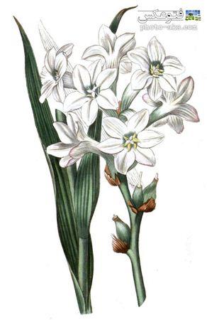 نقاشی زیبا از گل مریم tuberose flower painting