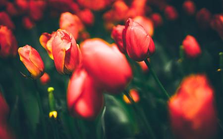 عکس با کیفیت از شاخه گلهای لاله tulips 4k wallpaper