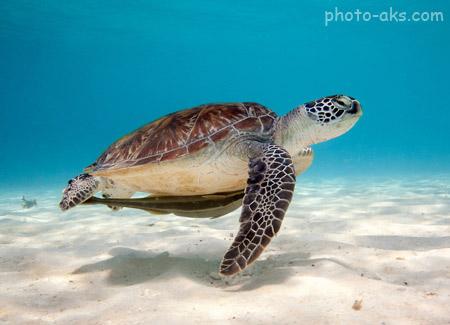 عکس لاکپشت زیر دریا turtle sea water