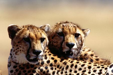 عکس یوزپلنگ چیتا cheeta pictures