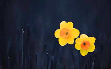 والپیپر شاخه گلهای نرگس زرد wallpaper gole narges