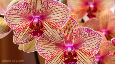 عکس حیرت انگیز گلها wallpaper orchid flower