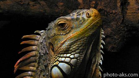 مارمولک ایگوانا wallpaper of lizard Iguana