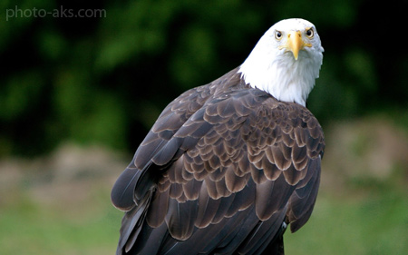 عقاب سر سفید  white head eagle