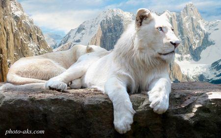 شیر یال دار سفید white lion wallpaper
