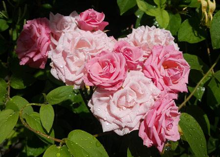 گل رز سفید و صورتی زیبا white pink rose flower