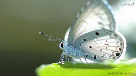 پروانه بسیار زیبا سفید white butterfly