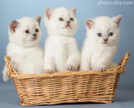 عکس بچه گربه های سفید white kittens