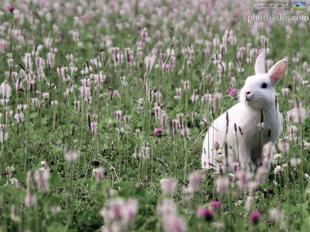 خرگوش سفید در میان گلها white rabbit in flowers