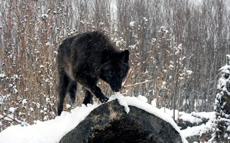 عکس نگاه گرگ سیاه در زمستان winter look black wolf