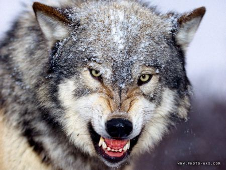 عکس گرگ وحشی wild wolves