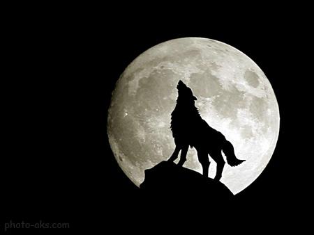 زوزه گرگ در شب مهتابی wolf moon